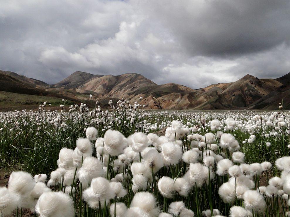 tumbuhan yang dimanfaatkan manusia untuk membuat kain katun